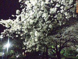 鷹匠公園の夜桜