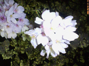 夜桜の接写
