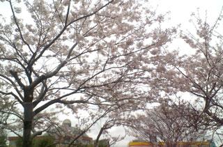 御殿場の桜は今が見頃です。
