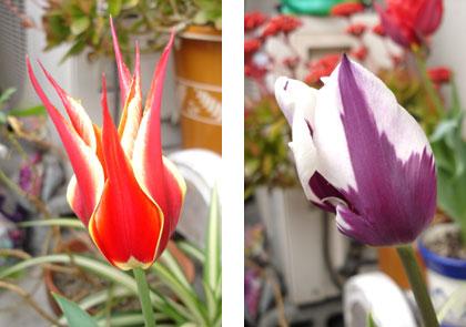 ▲毎年知人のお母様が下さる球根から綺麗に開花したチューリップです。