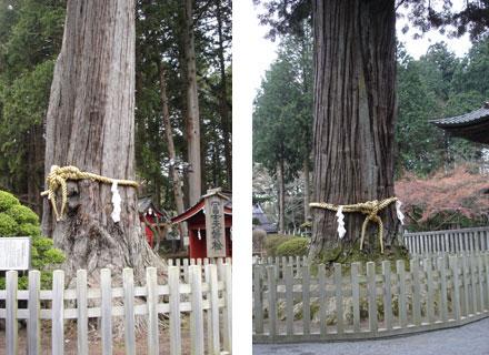 ▲本殿近くの「富士 夫婦檜」「富士太郎杉」の名を持つ御神木。樹齢は300年とも1000年とも言われ、圧倒されます。