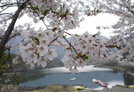 ▲精進湖をバックに、桜。