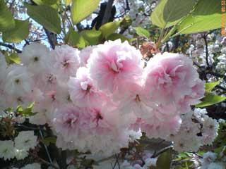 ▲近くに咲いていた八重桜。